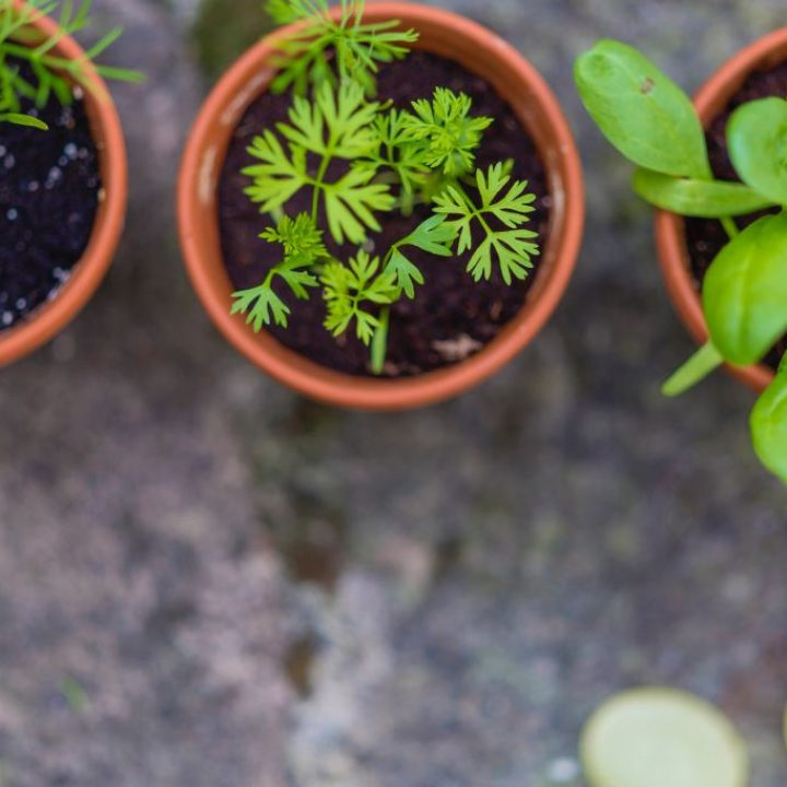 herbes-aromatiques-en-pot