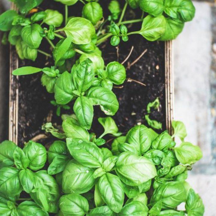 plante-aromatique